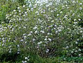 Viburnum carlcephalum (scented snowball)