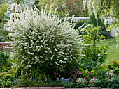 Spiraea arguta, Wisteria floribunda 'Alba'
