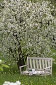 Bank under blooming Prunus cerasus in the orchard