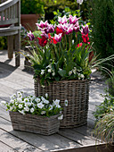 Baskets planted with Tulipa 'Ballade', 'Red Shine'