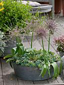 Allium schubertii (Porcupine), Sedum sieboldii 'Variegata'