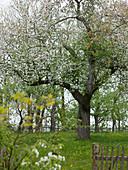 Malus (apple tree) in meadow