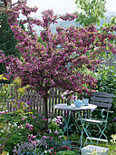 Malus 'Paul Hauber' planted with Tulipa