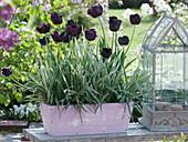 Tulipa 'Queen of the Night', Phalaris 'Dwarf Garters'