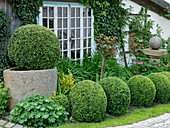 Buxus (Box balls) in the bed and stone trough