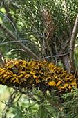 Spore bearing of pear steel grating to Juniperus
