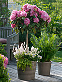 Rhododendron yakushimanum strain 'Gunborg' planted with Tiarella