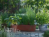 Allium schoenoprasum (chives), Raphanus (radish), Melissa