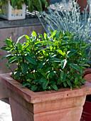 Mentha X gracilis (ginger-mint) in terracotta pot