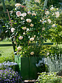 Pink 'Jayne Austin' (English rose) with a pleasant aroma of tea roses