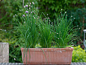 Allium schoenoprasum (chive) in the box