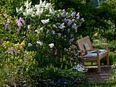 Syringa vulgaris 'Mont Blanc', 'Katharina Havemayer' (lilac)