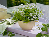 Galium odoratum (woodruff) blooming in cup