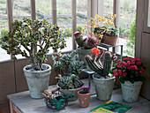 Crassula (Geldbaum), Euphorbia milii (Christusdorn), Mammillaria