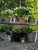 Funkia in pots on and on wall