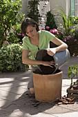 Plant tomato plant in bucket