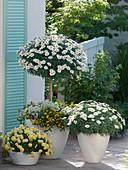 Argyranthemum 'Stella 2000' 'Madeira Crested Yellow', strain