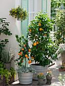 Citrus sinensis, Citrus myrtifolia, Helichrysum