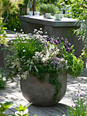 Herb pot with Allium schoenoprasum, Salvia 'Tricolor'