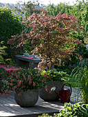 Shaded terrace with Acer palmatum 'Atropurpureum'