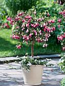 Fuchsia 'Paula Jane' planted with Bacopa copa