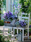 Campanula medium Poem 'Blue', Campanula persicifolia