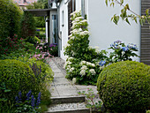 Path to the covered entrance, Hydrangea macrophylla