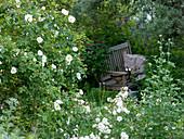 Rosa semiplena (Rosa alba) historische Rose, einmalblühend, sehr frosthart