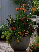 Zwerg - Canna 'Luzifer' (Indisches Blumenrohr), Pennisetum glaucum
