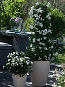 Solanum jasminoides (Jasmin - Nachtschatten), Solanum rantonnetii 'Alba'