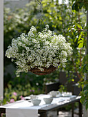 Lobularia 'Snow Princess' syn. Alyssum in Korbampel