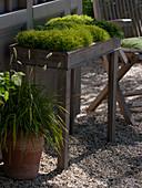 Sagina subulata 'Scottish Moss', 'Irish Moss'
