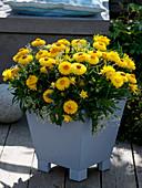 Helichrysum syn. Bracteantha Sundaze 'Totally Yellow'