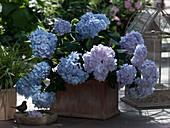 Hydrangea macrophylla 'Endless Summer' (Hydrangea)