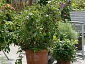 Rubus 'Sanibelle', Melissa, Artemisia