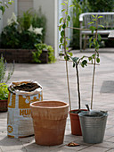 Pear in terracotta potted plants