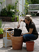 Planting pear in terracotta potted