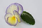 Viola cornuta 'Etain' (horn violet)