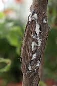 Eriosoma lanigerum (apple blood louse) in a bark injury