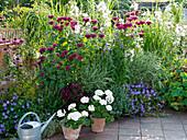 Summery Perennial Plants Monarda 'Cambridge Scarlet'