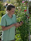Frau schneidet Samenansätze von Lathyrus odoratus (Duftwicken)
