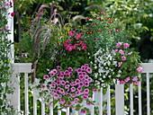 Pennisetum 'Dwarf Rubrum', Petunia Whispers' Rose