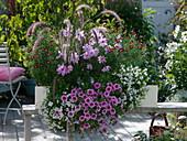Pennisetum 'Dwarf rubrum', Petunia Whispers 'Rose Star'