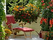 Tagetes Gloriette 'Deep Orange' and tenuifolia, Petunia