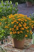 Tagetes tenuifolia 'Orange Gem' (Spice tagetes)