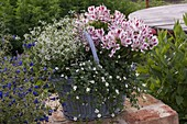 Basket planted with Alstroemeria, Euphorbia 'Diamond Frost'