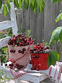 Small metal bucket with freshly picked sour cherries