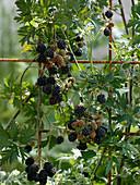 Rubus 'Thornless Evergreen' (Thornless Blackberry)