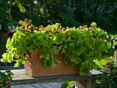 Lactuca 'Babyleaf Mix' (Leaf lettuce) in terracotta box