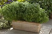 Ocimum 'Picolino' (mini basil) in Terrracotta box